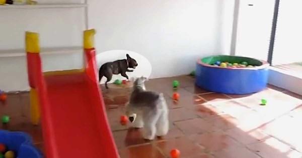 Δείτε την τρομερή αντίδραση ενός σκύλου όταν βλέπει για πρώτη φορά πολλά πλαστικά μπαλάκια! (Βίντεο)