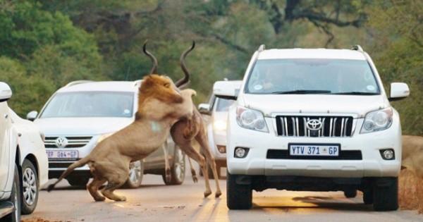 Η επική μάχη λιονταριών με αντιλόπη (Εικόνες)