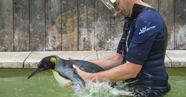 Πιγκουίνος φοβάται το νερό και κάνει μαθήματα κολύμβησης (Εικόνες)