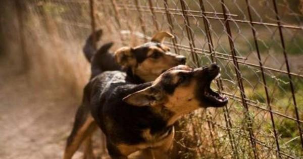 Πίστευε ότι μπορούσε να εξαγριώσει τα σκυλιά στα κλουβιά αλλά πήρε ένα μεγάλο μάθημα! (Βίντεο)