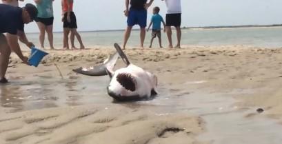 Μεγάλος λευκός καρχαρίας ξεβράζεται σε παραλία (Βίντεο)
