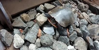 Η διάσωση της χελώνας (Βίντεο)