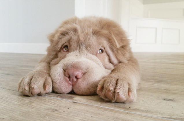 Σκύλος shar pei