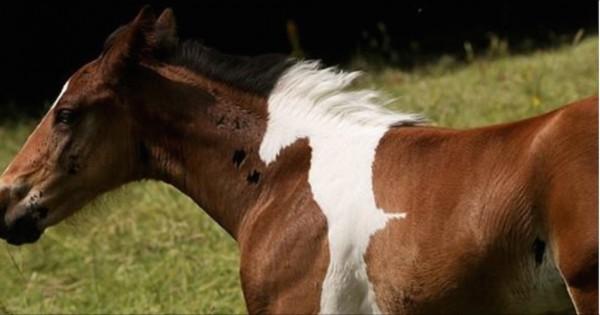 Πουλάρι γεννήθηκε με ένα τεράστιο σημάδι σε σχήμα μικρού αλόγου! (Εικόνες)
