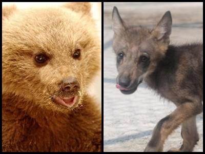 Στον Αρκτούρο ορφανό αρκουδάκι και λυκάκι! (Εικόνες)