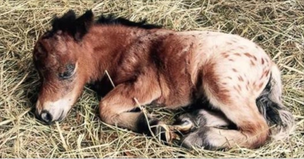 Άλογο μινιατούρα φέρνει στον κόσμο το ομορφότερο πόνι που έχετε δει ποτέ! (Βίντεο)