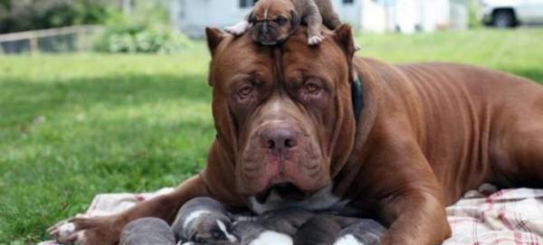 Χουλκ: Το μεγαλύτερο πίτμπουλ στον κόσμο απέκτησε δική του οικογένεια (φωτογραφίες)