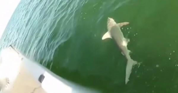 Γιγαντιαίος ροφός καταπίνει καρχαρία! (Βίντεο)