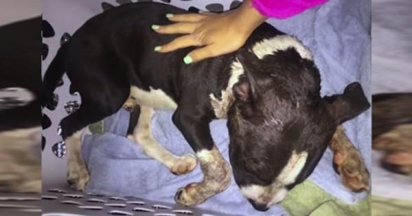 Ένα pitbull κατέρρευσε στη βεράντα της, όταν όμως κοίταξε το λαιμό του… σοκαρίστηκε! (Βίντεο)