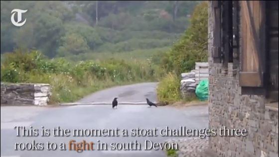 Απίστευτη μονομαχία: Όταν ένα κουνάβι κέρδισε τρία κοράκια (Βίντεο)