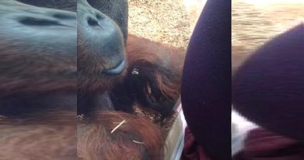 Ουρακοτάγκος φιλά την κοιλιά μιας εγκύου και τρελαίνει το διαδίκτυο! (Βίντεο)