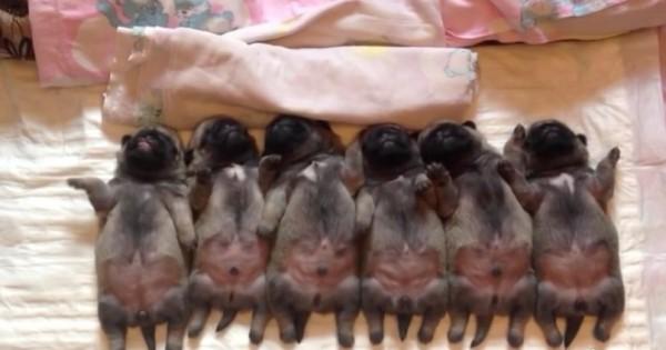 Αξιολάτρευτα νεογέννητα pugs πέφτουν για ύπνο, δείτε όμως τι κάνει αυτό που βρίσκεται τέρμα αριστερά! (Βίντεο)
