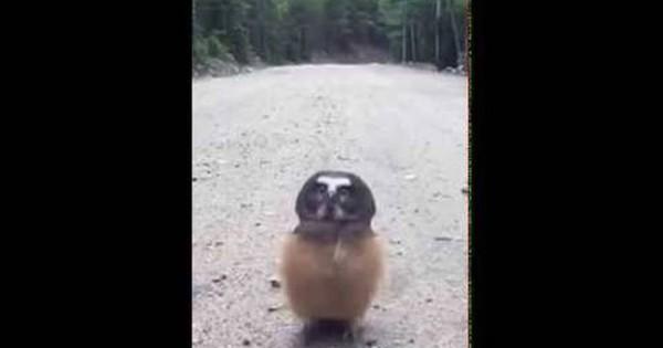 Η μικρή κουκουβάγια που έγινε viral (video)