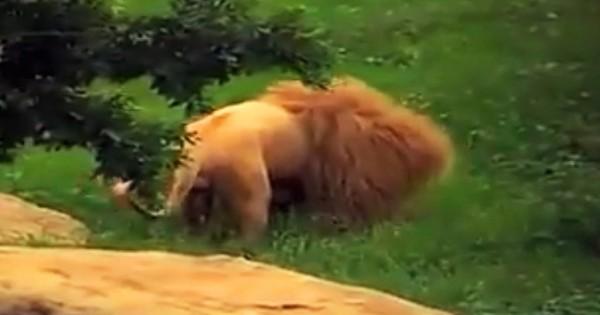 Το λιοντάρι βαριόταν τόσο πολύ που του πέταξαν ένα παιχνίδι για να παίξει. Δεν περίμεναν αυτή την αντίδραση! (Βίντεο)