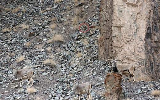 λεοπάρδαλη