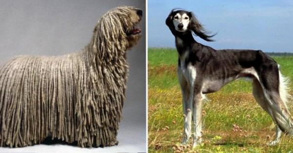 Οι 10 σπανιότερες ράτσες σκύλων στον κόσμο! (Εικόνες)