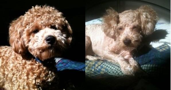 Τα 15 χειροτερα κουρεματα σκυλων EVER!!!! Ακομα γελαω με το Νο.14!! (Φωτογραφίες)