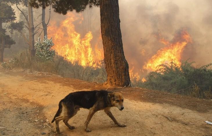 φωτιά πυρκαγιά ζώα ΑΝΙΜΑ
