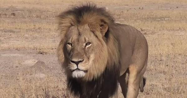 Πόσο κοστίζει να σκοτώσεις ένα λιοντάρι