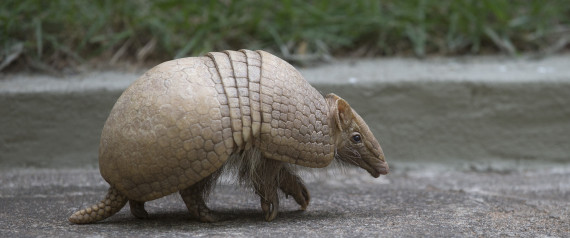 An armadillo, named Ana Botafogo in honor of the Brazilian dancer, walks in the Rio Zoo in Rio de Janeiro, Brazil, Wednesday, May 21, 2014. A Brazilian environmental group has launched an effort to save the endangered three-banded armadillo, the mascot for the World Cup that starts next month. The armadillo is in danger of extinction, largely because of deforestation and hunting in its habitat in the shrub lands of northeastern Brazil, according to the Caatinga Association.  (AP Photo/Silvia Izquierdo)