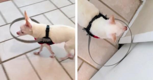 Τυφλός Σκύλος Περπατά Με Ασφάλεια Χάρη Σε Αυτή Την Εφεύρεση (Σκύλος)