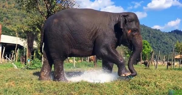 Ελέφαντας πατάει πάνω στο ποτιστικό και το σπάει. Η αντίδρασή του ανεκτίμητη! (Βίντεο)
