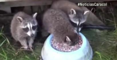 Ένα πολύ πεινασμένο ρακούν (Βίντεο)