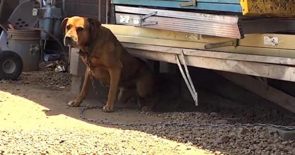 Άνδρας σώζει ένα «μοχθηρό» αλυσοδεμένο σκύλο από μια ζωή γεμάτη κακοποίηση (Βίντεο)
