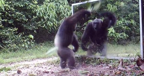 Χιμπατζήδες διώχνουν με χορευτικές φιγούρες τον… εαυτό τους (Βίντεο)