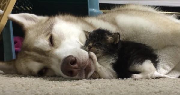 Το μικροσκοπικό γατάκι έτρεμε το καινούργιο του σπίτι – Μέχρι που ο σκύλος της οικογένειας έκανε αυτό! (Βίντεο)