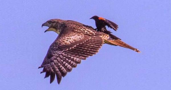 Απίστευτη φωτογραφία: Ένας κότσυφας χαλαρώνει στη ράχη ενός γερακιού και απολαμβάνει την πτήση!