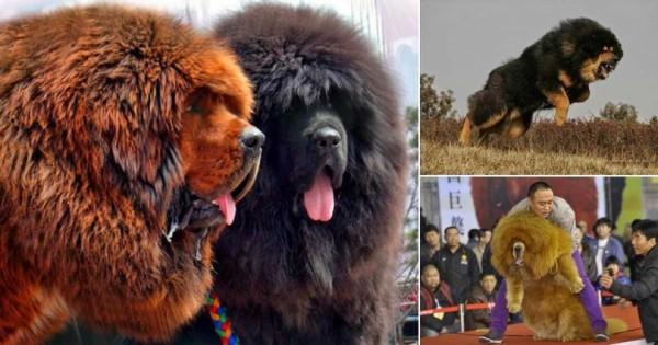 Θιβετιανό Μαστίφ: Η ακριβότερη ράτσα σκύλου στον κόσμο