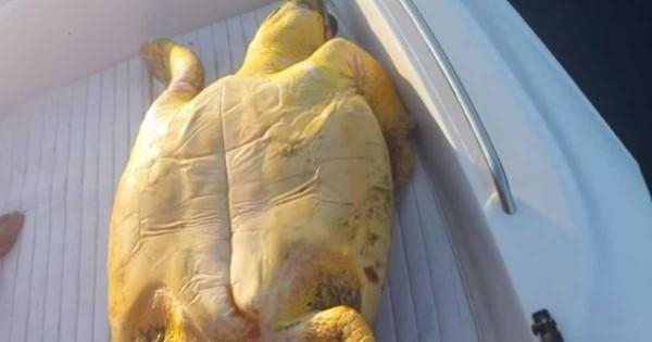 Παρέα Ηρακλειωτών σώζει χελώνα caretta – caretta που μπλέχτηκε σε παραγάδι! (Βίντεο)
