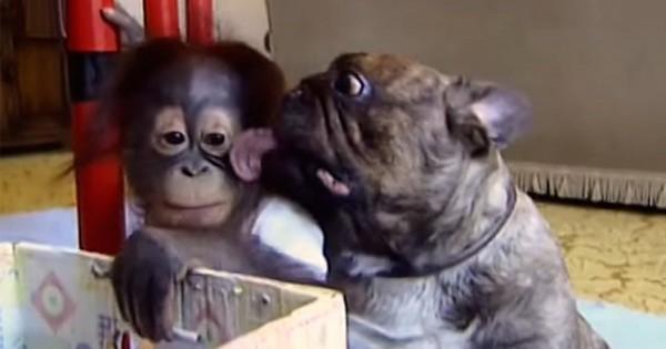 Μια υπέροχη φιλία ανάμεσα σε έναν ουρακοτάγκο και ένα Bulldog! (Βίντεο)