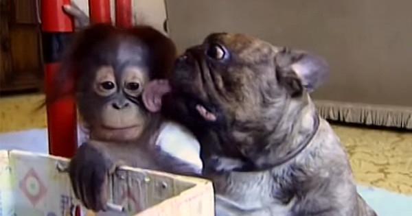 Δείτε το ορφανό μωρό ουραγκοτάγκο και το γαλλικό μπουλντόκ που ανταλλάζουν φιλιά – Η πιο αληθινή φιλία…