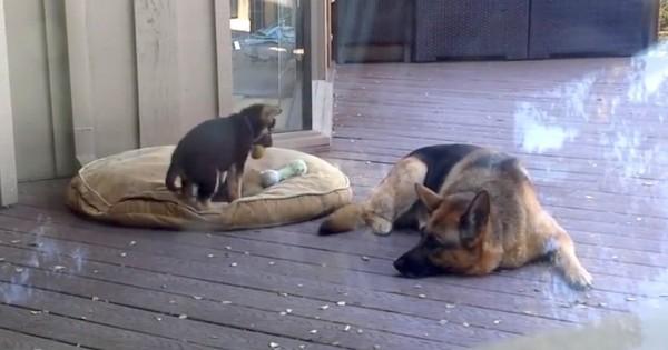 Αυτό το μικρό κουταβάκι αρνείται να κοιμηθεί – Δείτε την αντίδραση της μητέρας του! (Βίντεο)