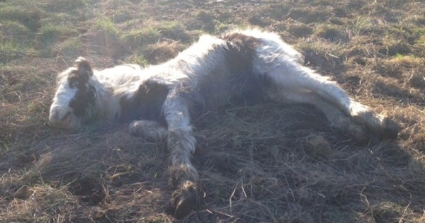 Ένα εγκαταλελειμμένο, έτοιμο να πεθάνει πουλάρι, μεταμορφώνεται σε ένα άλογο πρωταθλητή (Εικόνες, Βίντεο)