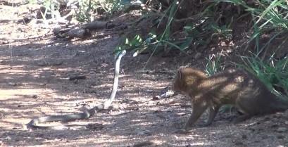 Επική μάχη: Μαγκούστα εναντίον Μαύρης Μάμπας (Βίντεο)