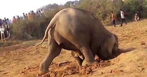 Βίντεο: Μάνα είναι μόνο μια! Ελεφαντίνα πέρασε 11 ώρες σκάβοντας μια τρύπα για να απεγκλωβίσει το μικρό της!