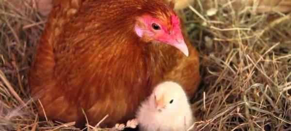 ΠΑΝΙΚΟΣ με την γρίπη των πουλερικών στις ΗΠΑ: Νοικιάζουν κότες προς 360 ευρώ για να έχουν φρέσκα αυγά (Φωτογραφίες, Βίντεο)