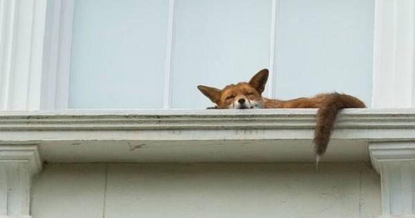 Ο… υπνάκος της αλεπούς (Εικόνες)