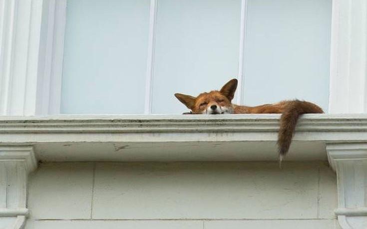 fox-735x459