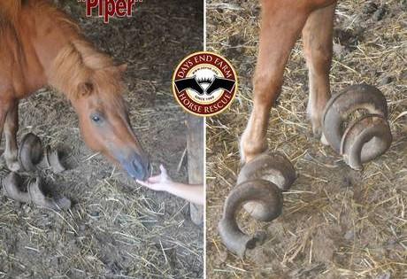 Αίσχος: Βρέθηκαν παραμελημένα άλογα με οπλές 90 εκατοστών!