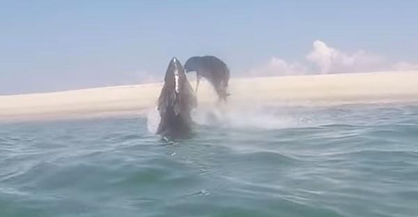 Το απίθανο κυνηγητό μιας φώκιας από ένα τεράστιο λευκό καρχαρία, έξω από το νερό! (βίντεο)