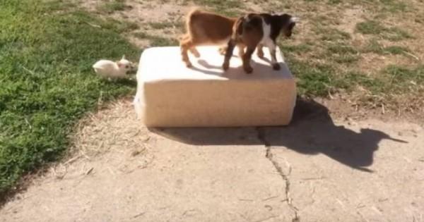 Ένα τσιουάουα θέλει να παίξει με δύο… κατσικάκια (βίντεο)