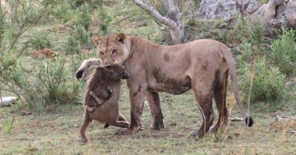 Θηλυκό λιοντάρι σκοτώνει μπαμπουίνο και ανακαλύπτει το μωρό του – Το τι ακολούθησε μετά είναι απίστευτο!
