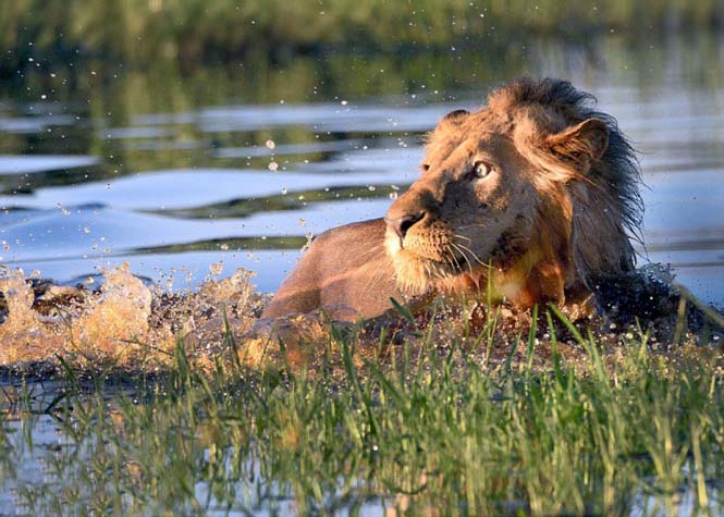 λιοντάρι κροκόδειλος