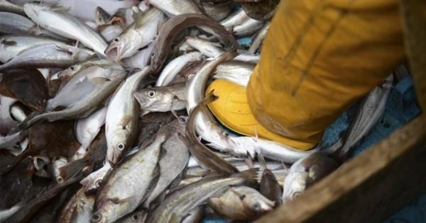 Τα ψάρια εξελίσσονται ώστε να είναι πιο δύσκολο να αλιευτούν;