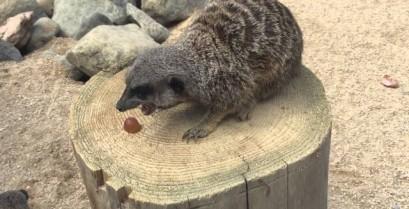 Βίντεο: Το σουρικάτα δεν μοιράζεται το φαγητό του
