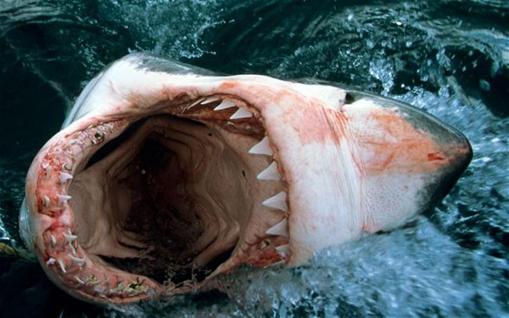 καρχαρίες καρχαρίας